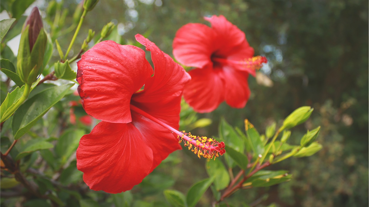 Which Parts of the Hibiscus Plant are Edible?