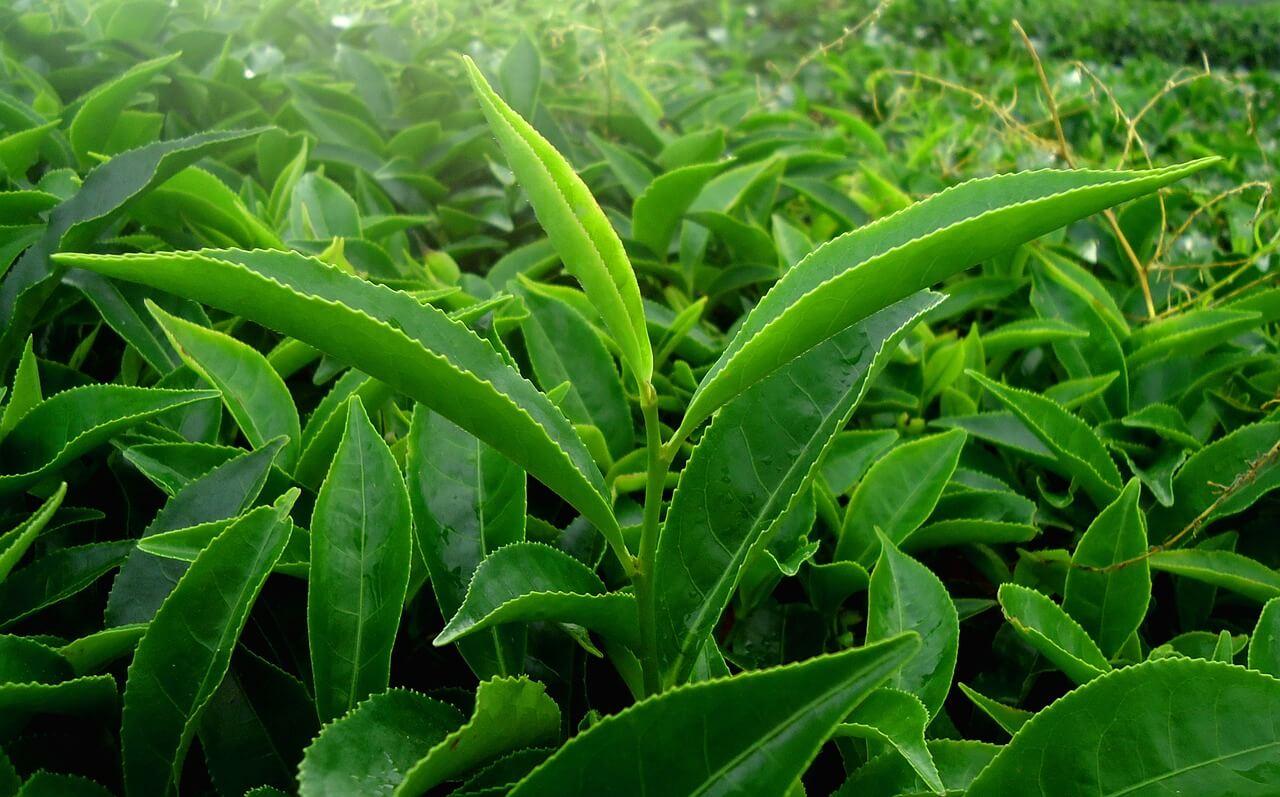 Which Leaf Makes Black Tea?